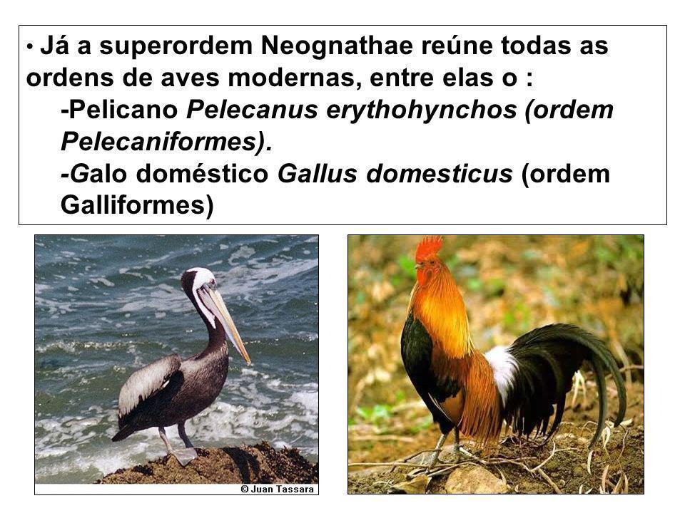 -Pelicano Pelecanus erythohynchos (ordem Pelecaniformes).