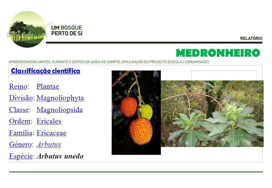MEDRONHEIRO Reino: Plantae Divisão: Magnoliophyta Classe: