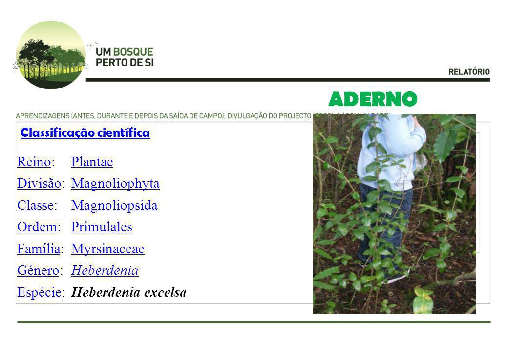 ADERNO Reino: Plantae Divisão: Magnoliophyta Classe: Magnoliopsida
