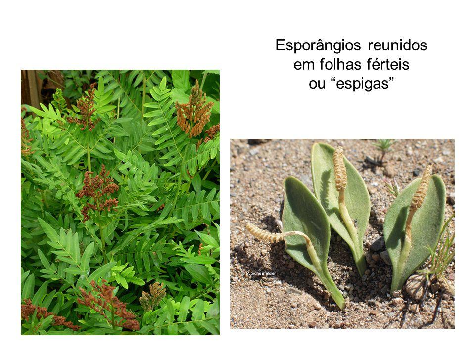 Esporângios reunidos em folhas férteis