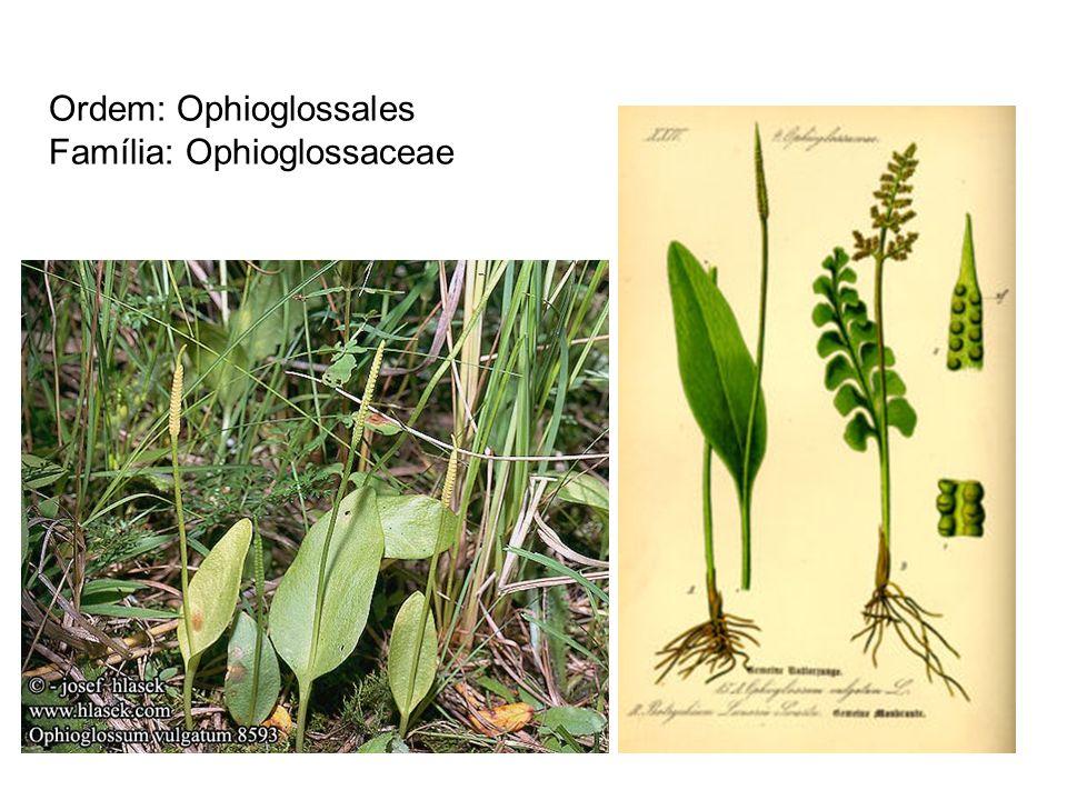 Ordem: Ophioglossales