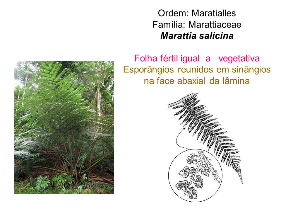 Família: Marattiaceae Marattia salicina
