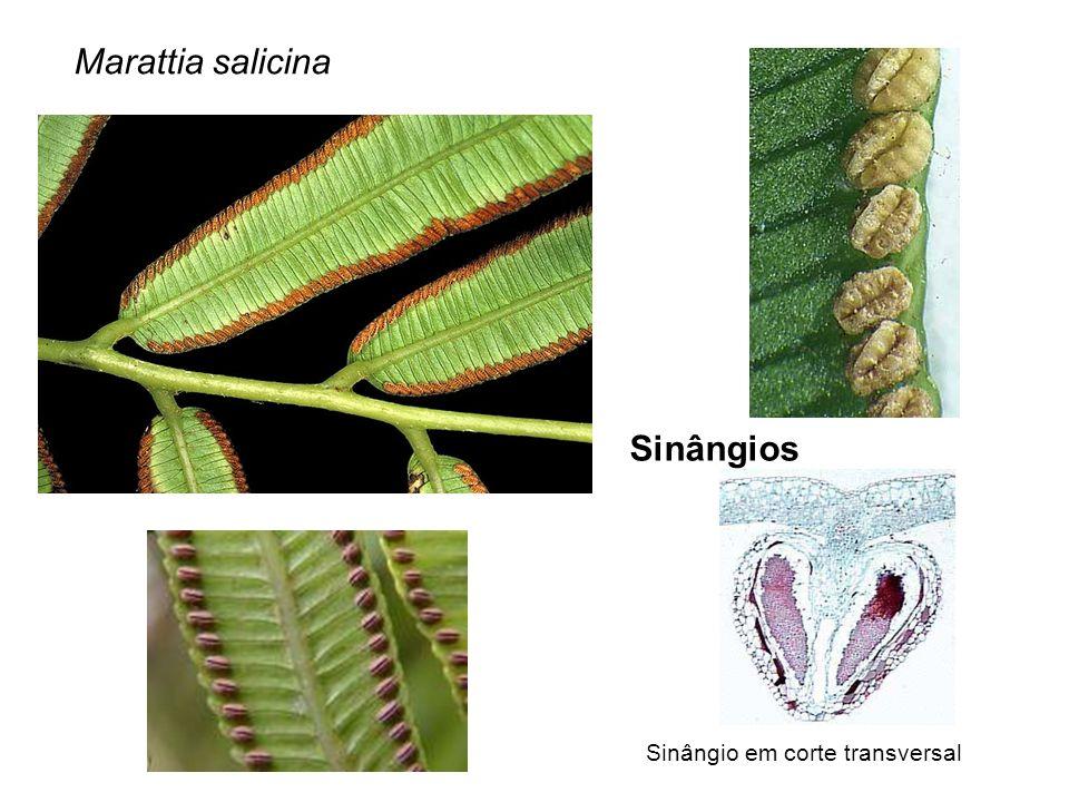Marattia salicina Sinângios Sinângio em corte transversal
