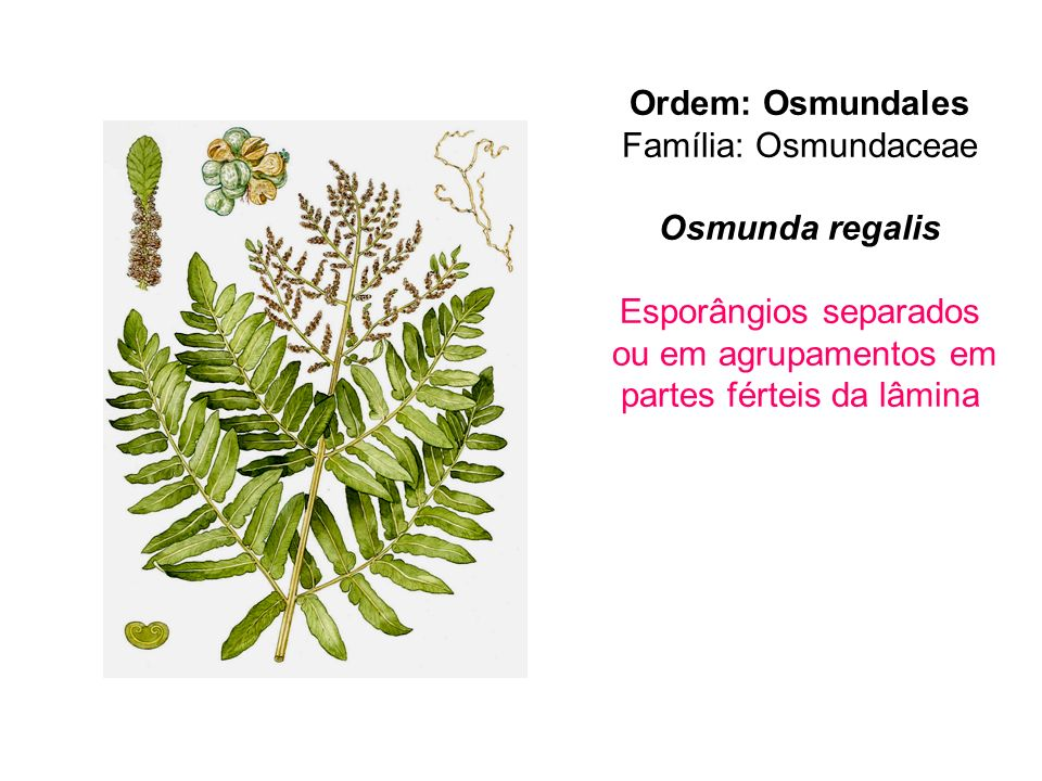 Ordem: Osmundales Osmunda regalis