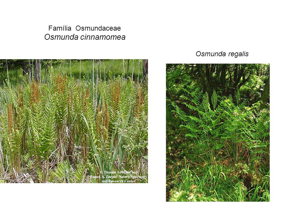 Família Osmundaceae Osmunda cinnamomea Osmunda regalis