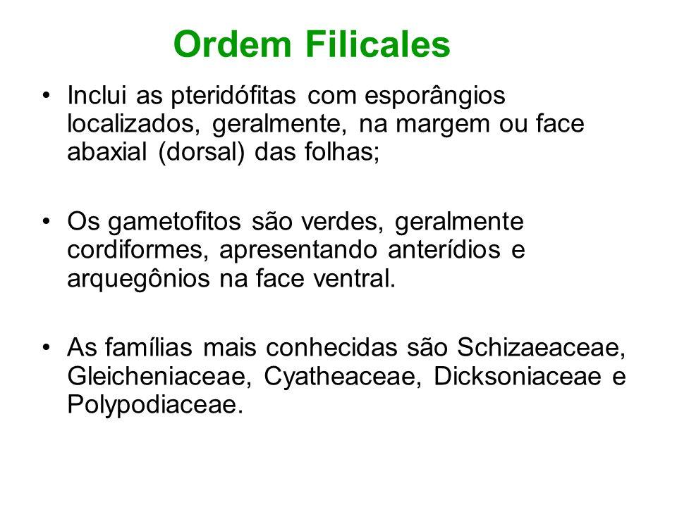Ordem Filicales Inclui as pteridófitas com esporângios localizados, geralmente, na margem ou face abaxial (dorsal) das folhas;