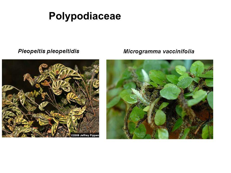Polypodiaceae Pleopeltis pleopeltidis Microgramma vaccinifolia