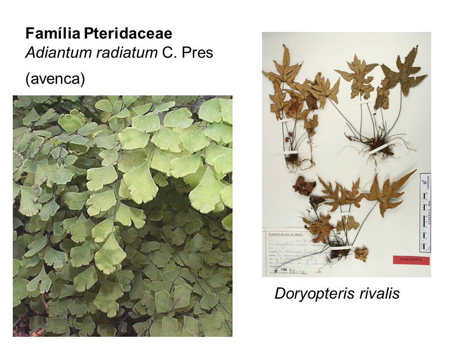 Família Pteridaceae Adiantum radiatum C. Pres (avenca) Doryopteris rivalis