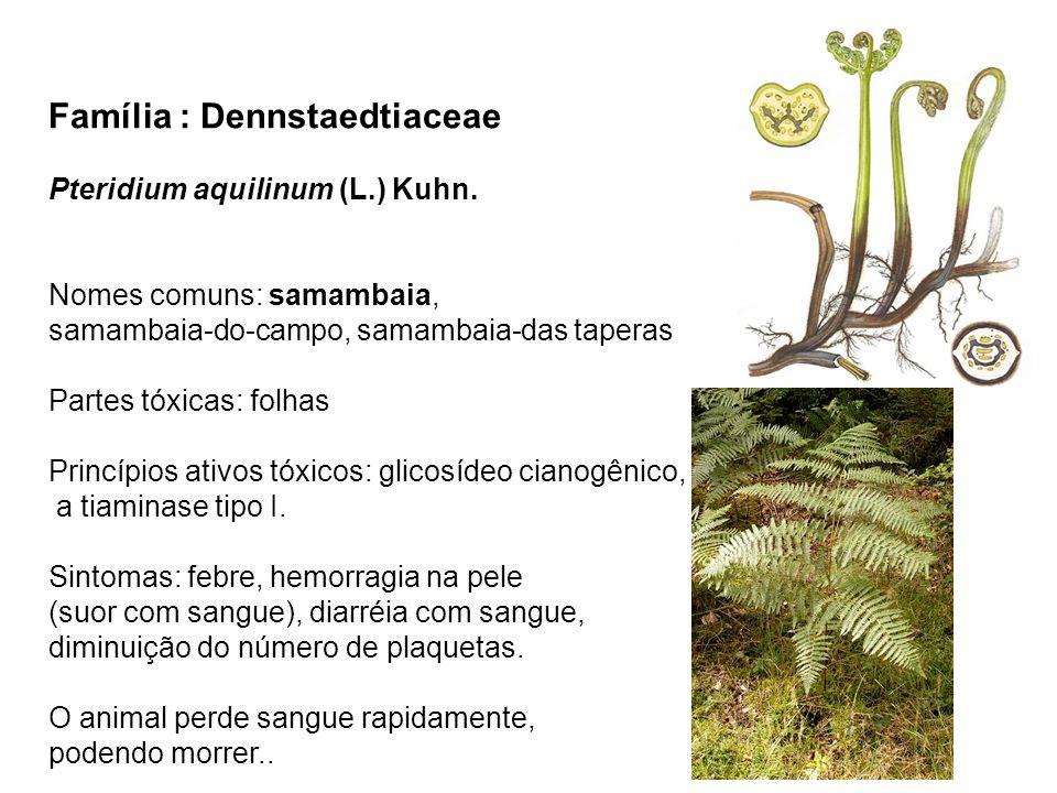Família : Dennstaedtiaceae