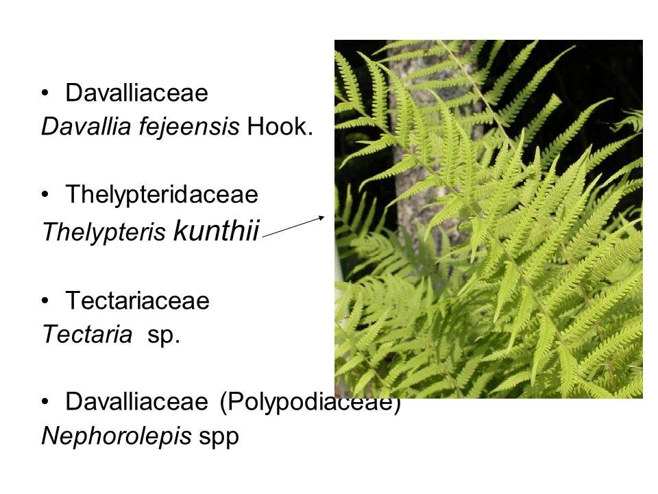 Davalliaceae Davallia fejeensis Hook. Thelypteridaceae. Thelypteris kunthii. Tectariaceae. Tectaria sp.