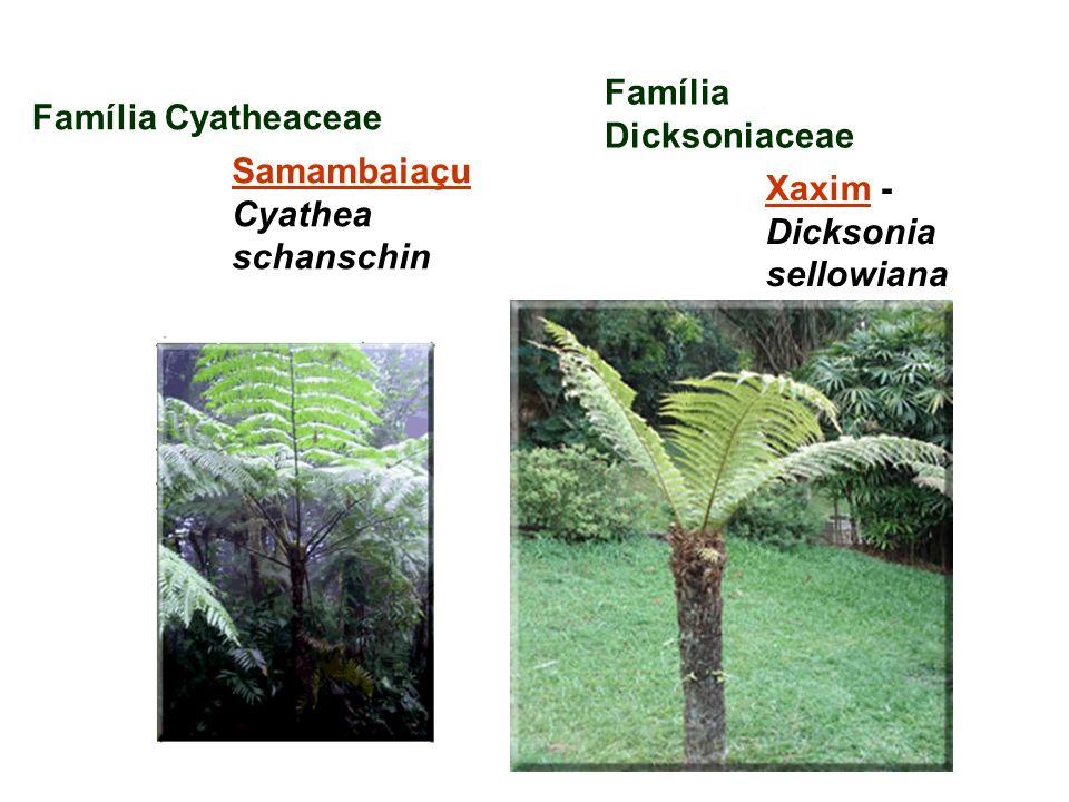 Família Dicksoniaceae