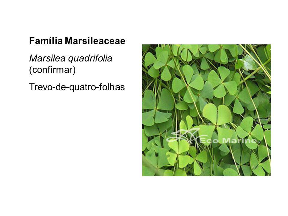Família Marsileaceae Marsilea quadrifolia (confirmar) Trevo-de-quatro-folhas
