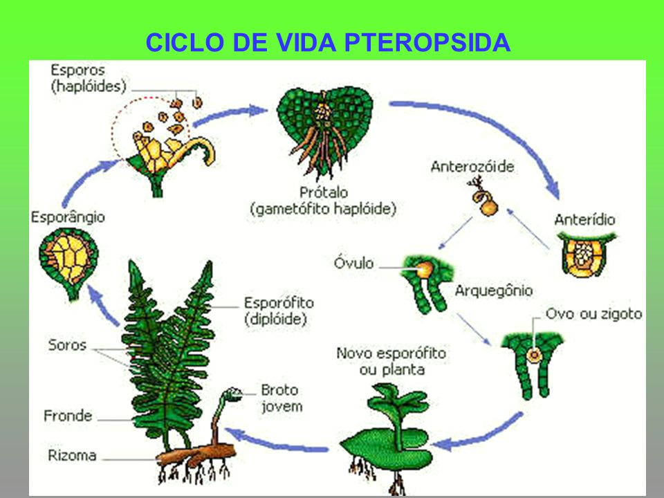CICLO DE VIDA PTEROPSIDA