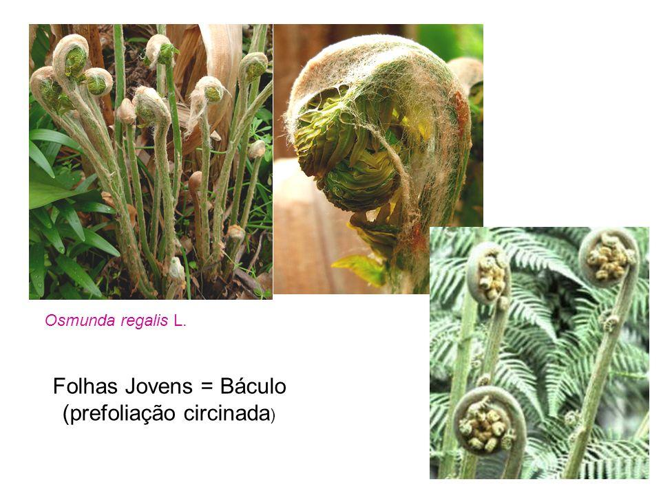 Folhas Jovens = Báculo (prefoliação circinada)