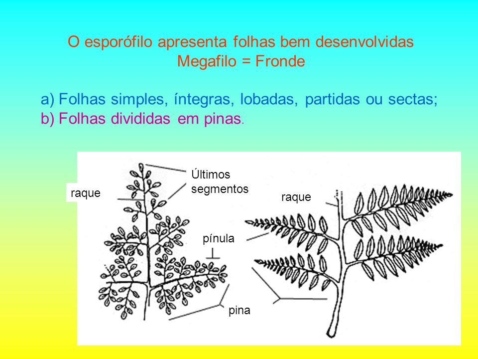 O esporófilo apresenta folhas bem desenvolvidas