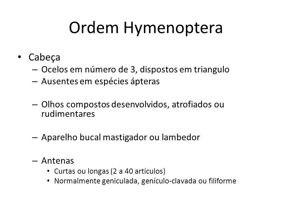 Ordem Hymenoptera Cabeça Ocelos em número de 3, dispostos em triangulo