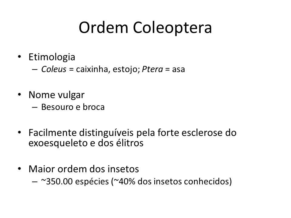Ordem Coleoptera Etimologia Nome vulgar
