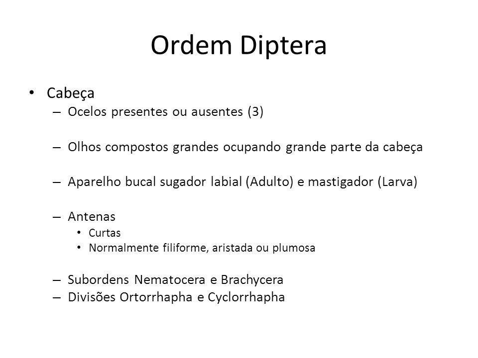 Ordem Diptera Cabeça Ocelos presentes ou ausentes (3)