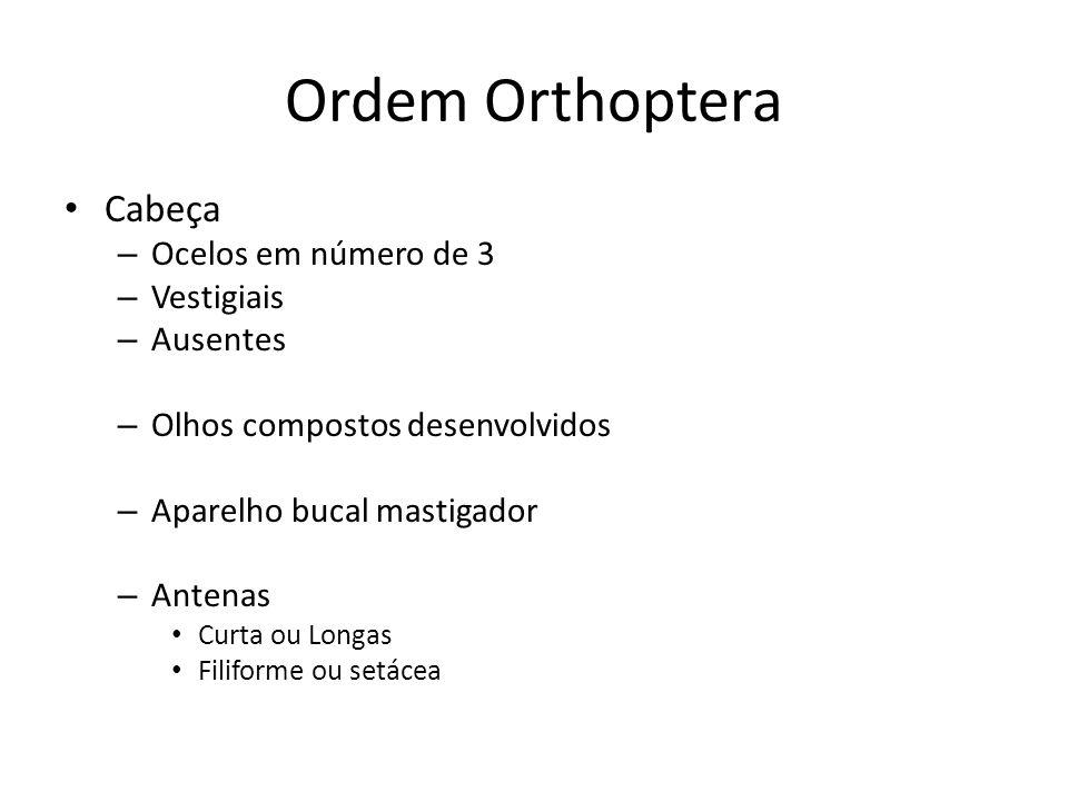 Ordem Orthoptera Cabeça Ocelos em número de 3 Vestigiais Ausentes