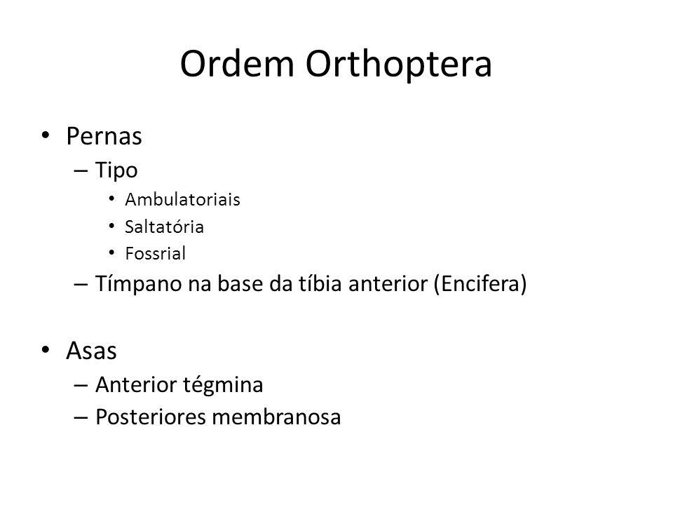 Ordem Orthoptera Pernas Asas Tipo