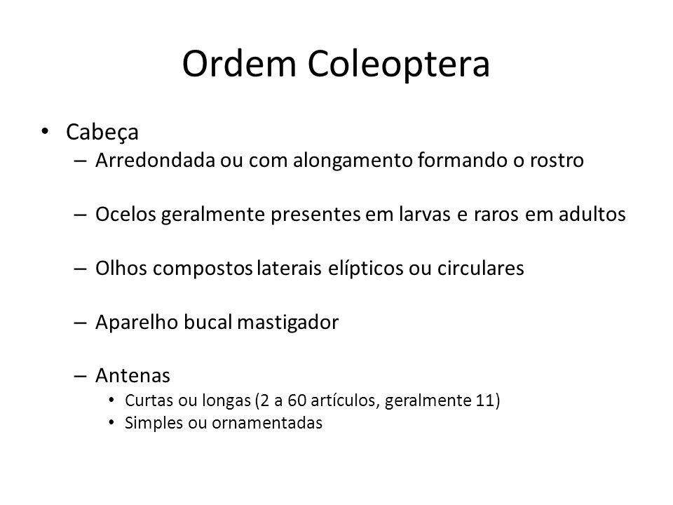 Ordem Coleoptera Cabeça