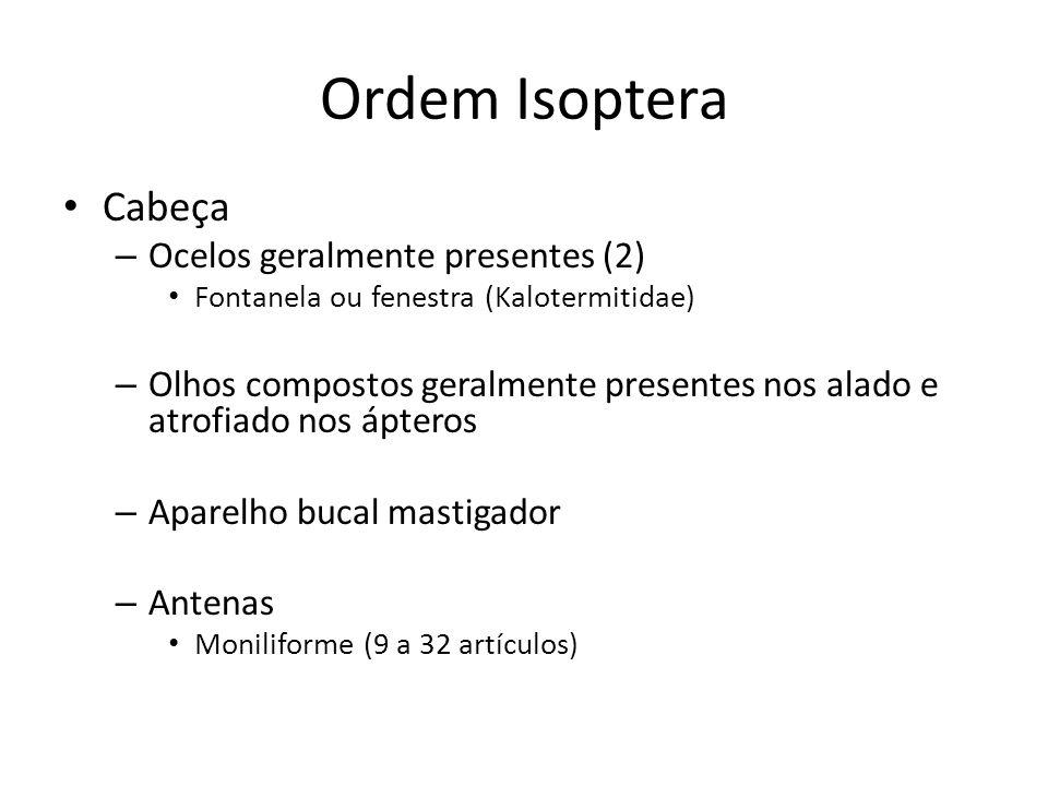 Ordem Isoptera Cabeça Ocelos geralmente presentes (2)