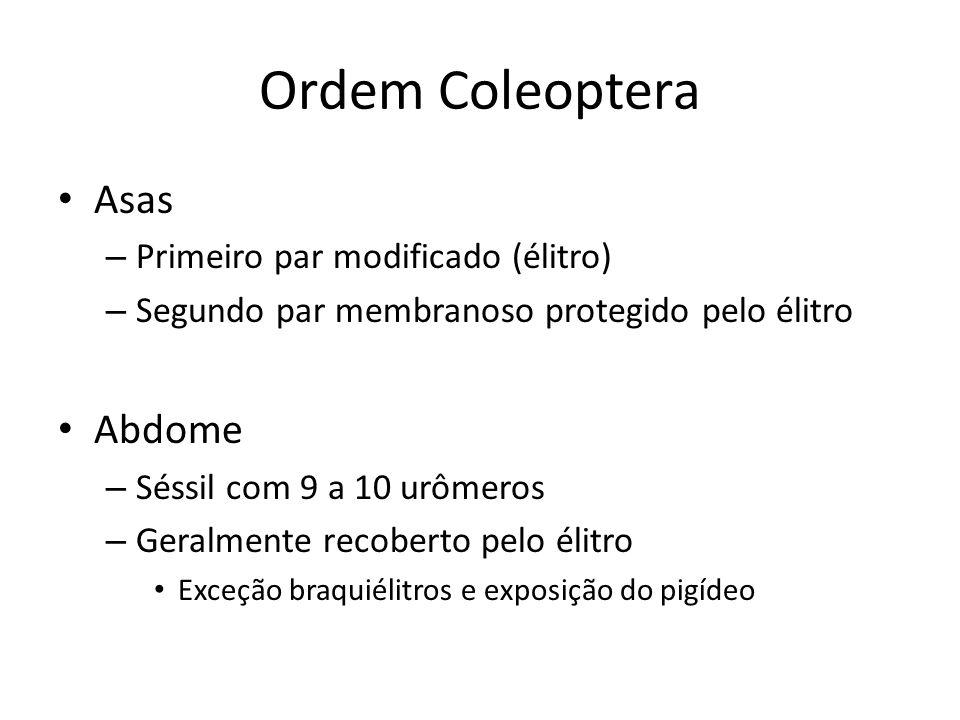 Ordem Coleoptera Asas Abdome Primeiro par modificado (élitro)