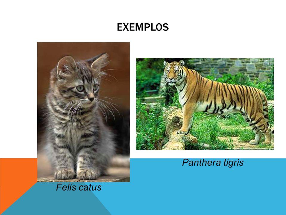Exemplos Panthera tigris Felis catus