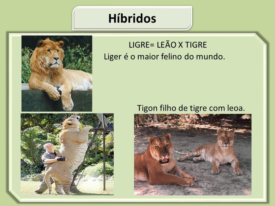 Híbridos LIGRE= LEÃO X TIGRE Liger é o maior felino do mundo.