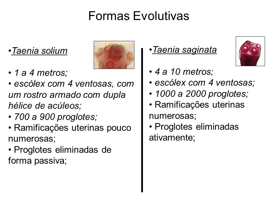 Formas Evolutivas Taenia saginata Taenia solium 4 a 10 metros;