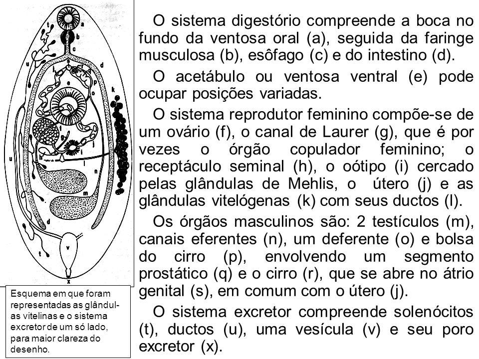 O acetábulo ou ventosa ventral (e) pode ocupar posições variadas.