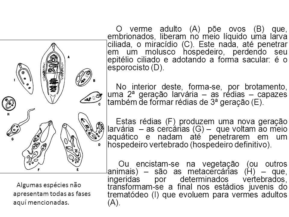 O verme adulto (A) põe ovos (B) que, embrionados, liberam no meio líquido uma larva ciliada, o miracídio (C). Este nada, até penetrar em um molusco hospedeiro, perdendo seu epitélio ciliado e adotando a forma sacular: é o esporocisto (D).
