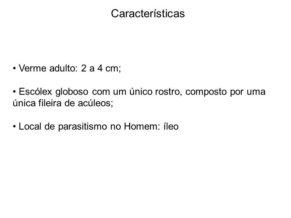 Características Verme adulto: 2 a 4 cm;