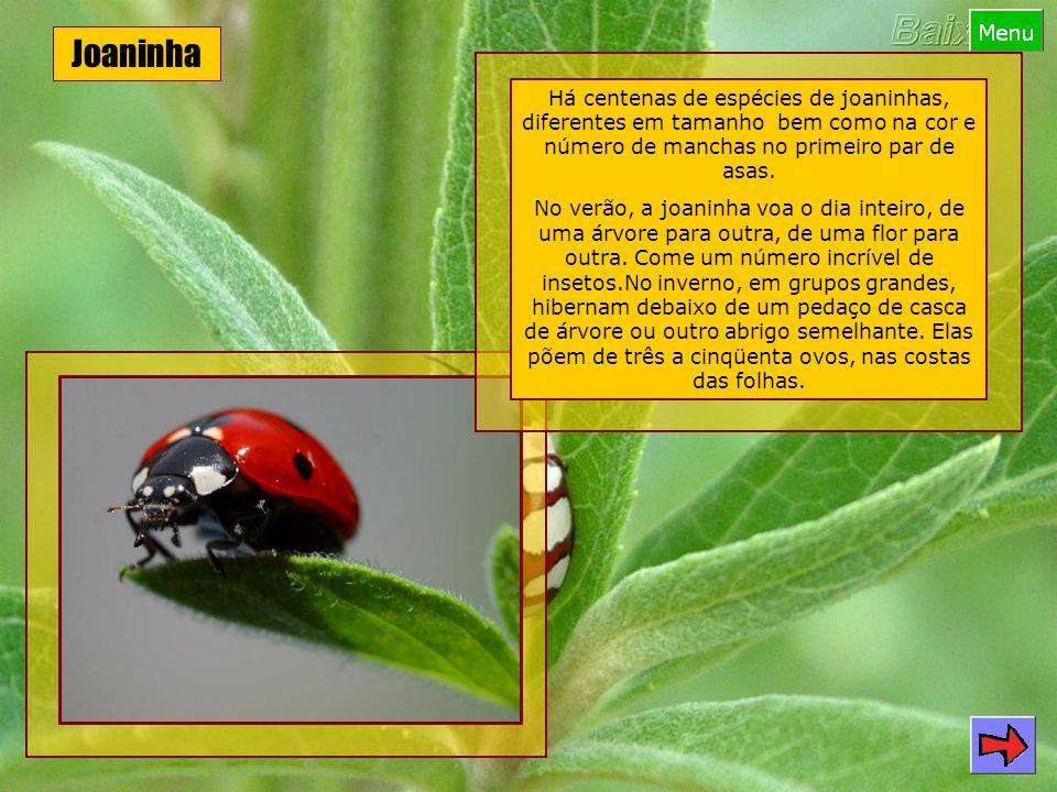Joaninha Há centenas de espécies de joaninhas, diferentes em tamanho bem como na cor e número de manchas no primeiro par de asas.