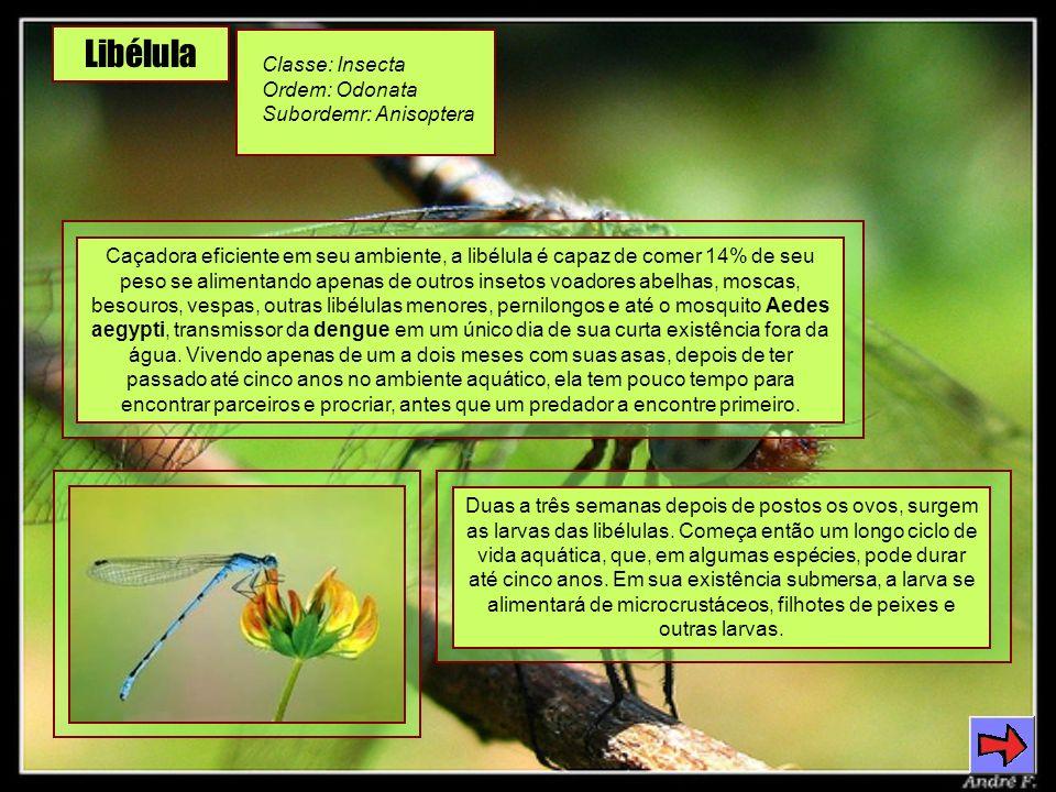 Libélula Classe: Insecta Ordem: Odonata Subordemr: Anisoptera