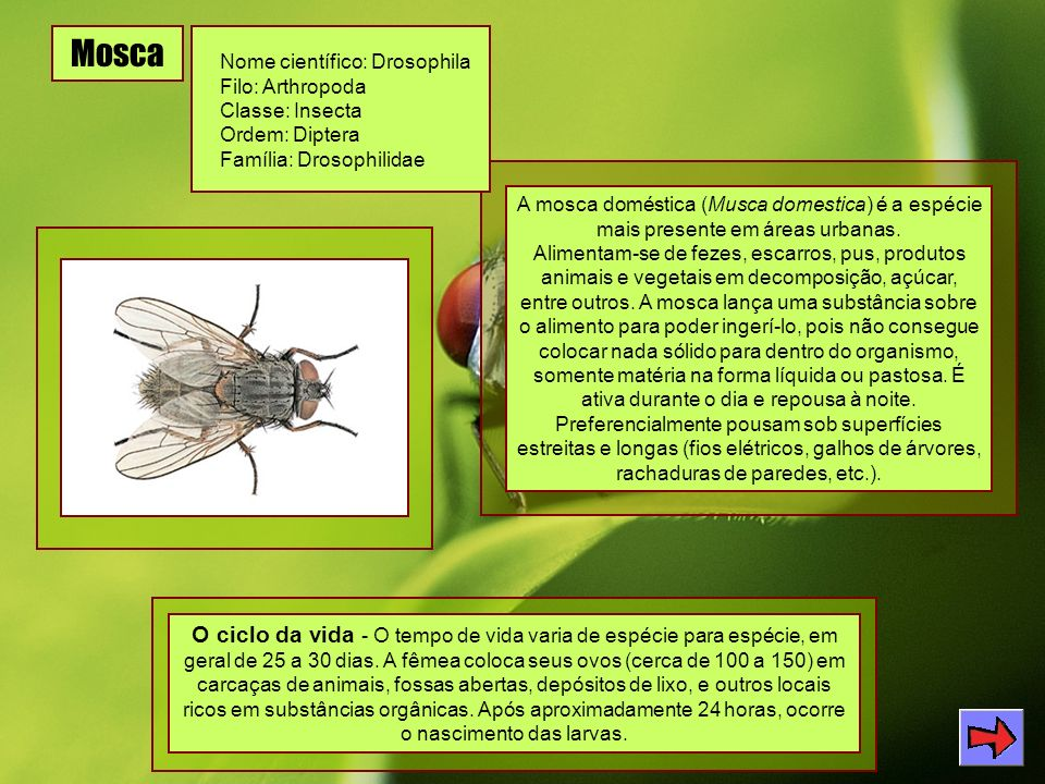 Mosca Nome científico: Drosophila. Filo: Arthropoda. Classe: Insecta. Ordem: Diptera. Família: Drosophilidae.