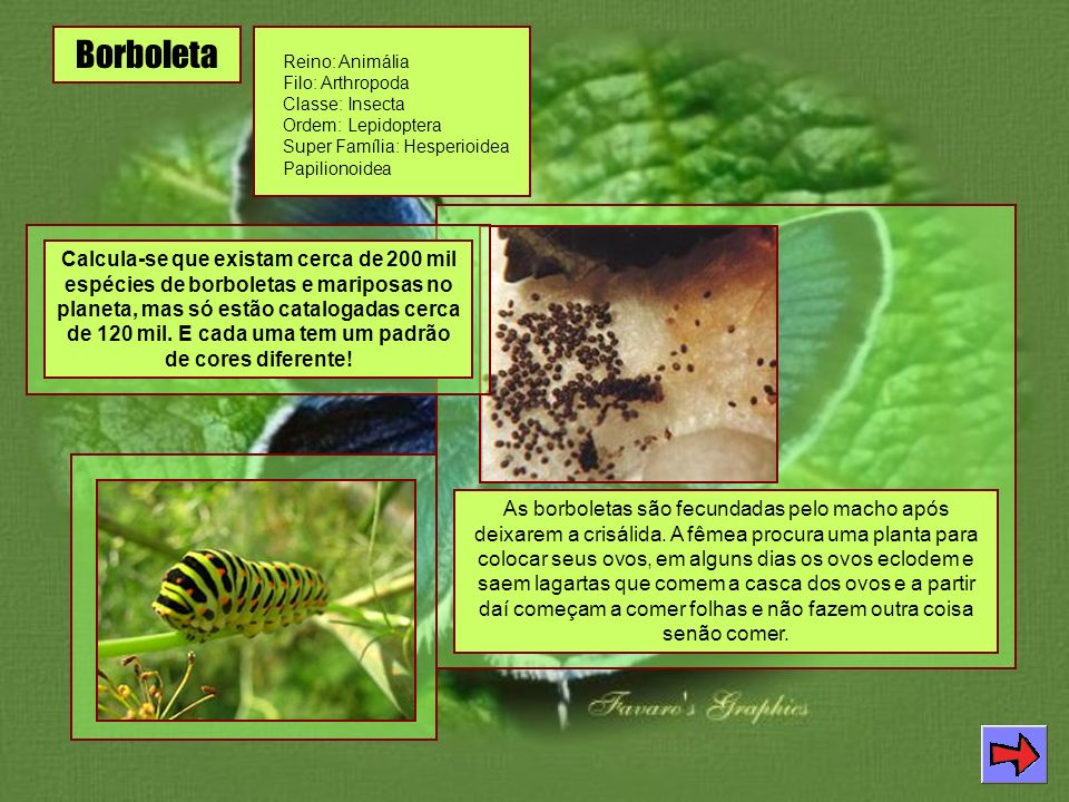 Borboleta Reino: Animália Filo: Arthropoda Classe: Insecta Ordem: Lepidoptera Super Família: Hesperioidea Papilionoidea.
