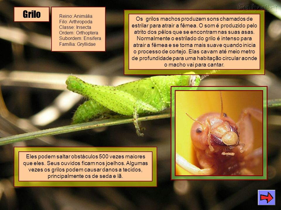 Grilo Reino: Animália Filo: Arthropoda Classe: Insecta Ordem: Orthoptera Subordem: Ensifera Família: Gryllidae.