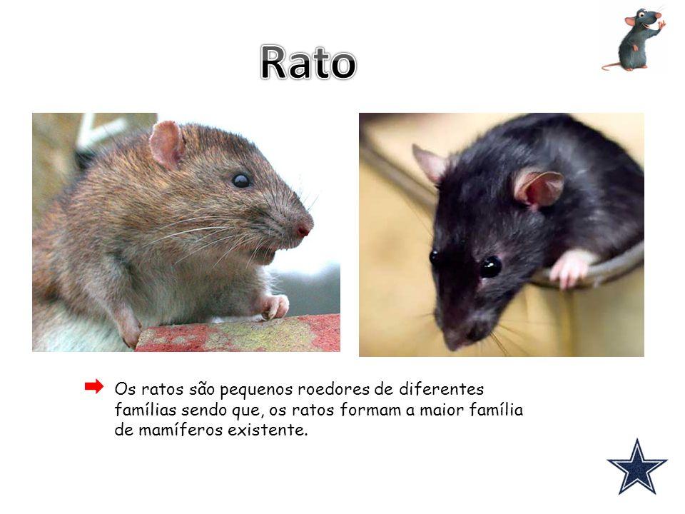 Rato Os ratos são pequenos roedores de diferentes famílias sendo que, os ratos formam a maior família de mamíferos existente.