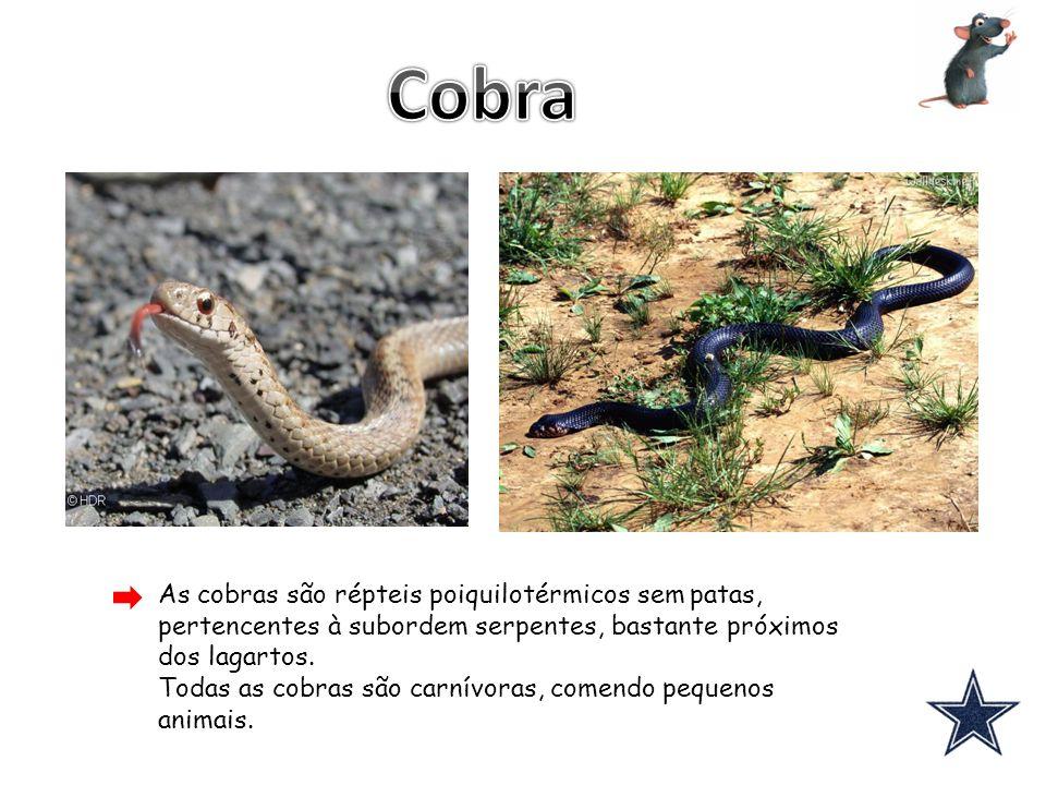 Cobra As cobras são répteis poiquilotérmicos sem patas, pertencentes à subordem serpentes, bastante próximos dos lagartos.