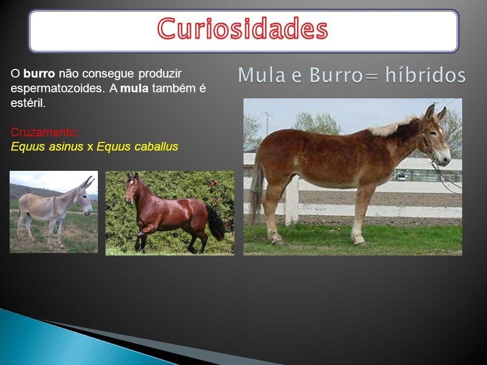 Curiosidades Mula e Burro= híbridos