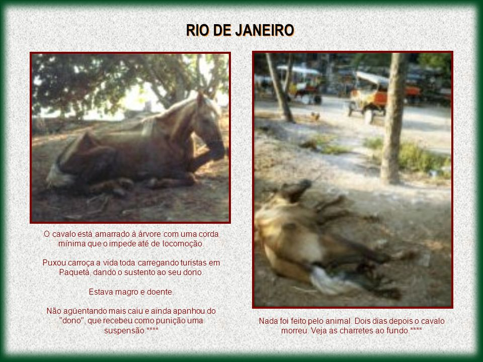 RIO DE JANEIRO O cavalo está amarrado à árvore com uma corda mínima que o impede até de locomoção.