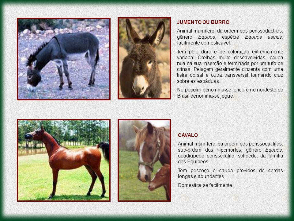 JUMENTO OU BURRO Animal mamífero, da ordem dos perissodáctilos, gênero Equuos, espécie Equuos asinus, facilmente domesticável.