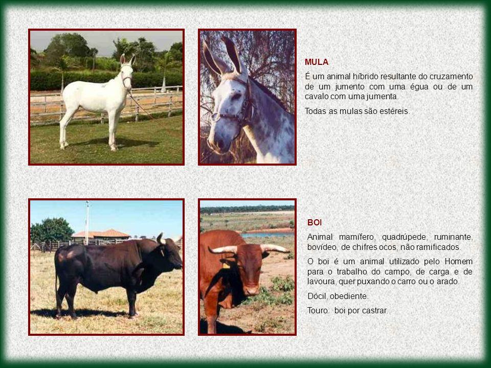 MULA É um animal híbrido resultante do cruzamento de um jumento com uma égua ou de um cavalo com uma jumenta.