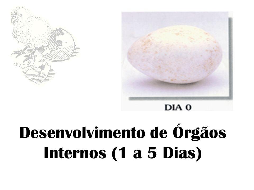 Desenvolvimento de Órgãos Internos (1 a 5 Dias)