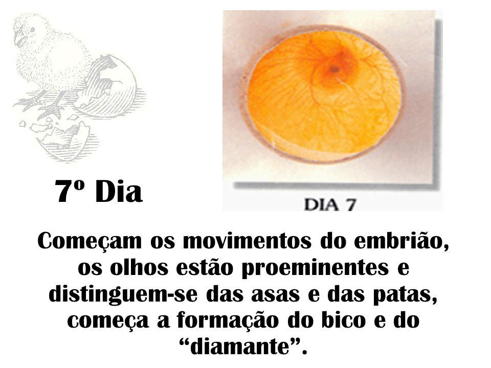 7º Dia Começam os movimentos do embrião, os olhos estão proeminentes e distinguem-se das asas e das patas, começa a formação do bico e do diamante .