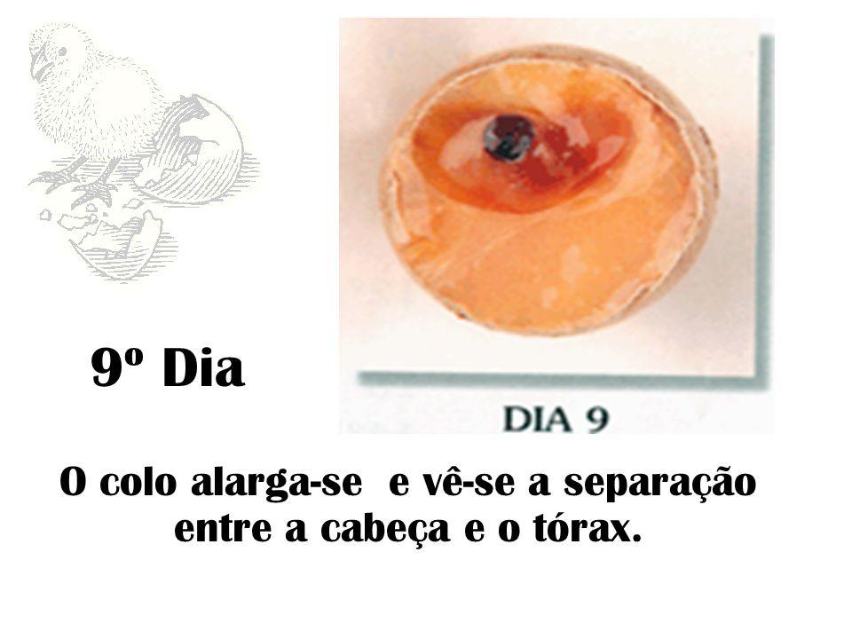 O colo alarga-se e vê-se a separação entre a cabeça e o tórax.
