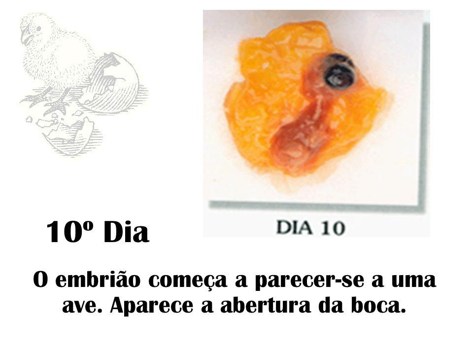 O embrião começa a parecer-se a uma ave. Aparece a abertura da boca.