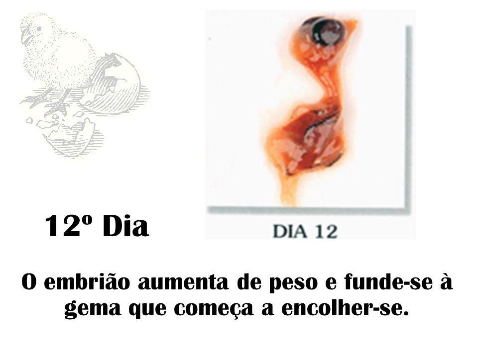 O embrião aumenta de peso e funde-se à gema que começa a encolher-se.