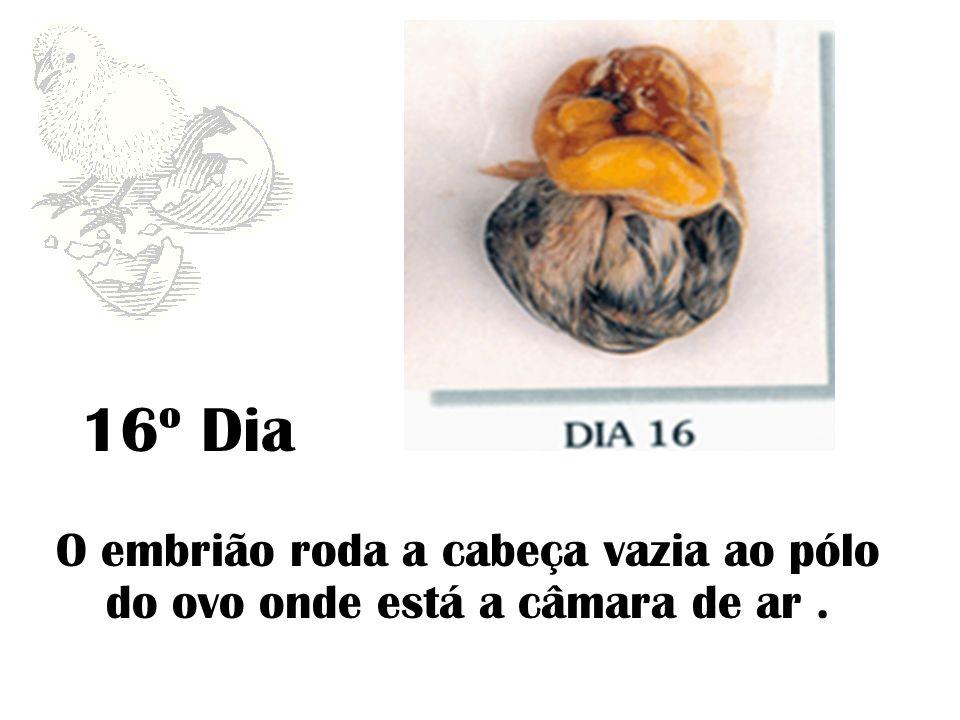 16º Dia O embrião roda a cabeça vazia ao pólo do ovo onde está a câmara de ar .